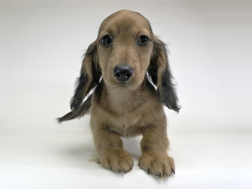 ミニチュアダックスフンド サリーアン & フレディの子犬 レッド 男の子(2)