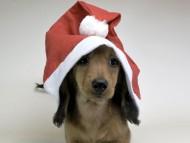 サリーアン & フレディの子犬 レッド 男の子(2)