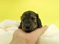オーロラ & たけるの子犬 レッド 男の子(2) お写真初登場