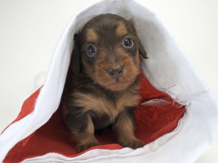 カニンヘンダックスフンド コラム & アレックスの子犬 チョコタン 女の子