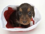 コラム & アレックスの子犬 チョコタン 女の子