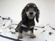 チャーマ.mh & ボン.mhの子犬 ブラッククリーム 女の子
