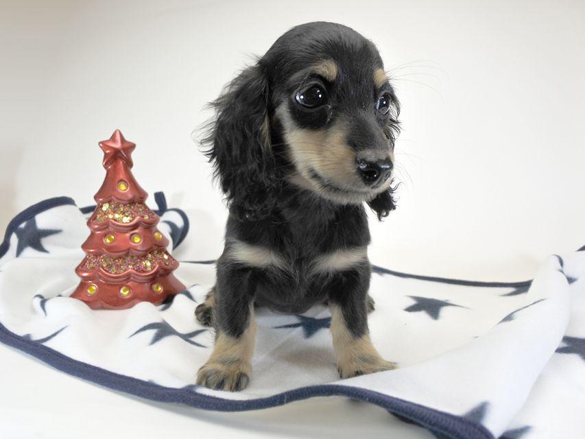 カニンヘンダックスフンド チャーマ.mh & ボン.mhの子犬 ブラッククリーム 女の子