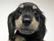 ゴマ.mh & バロン.mhの子犬 ブラッククリーム 女の子 お写真初登場