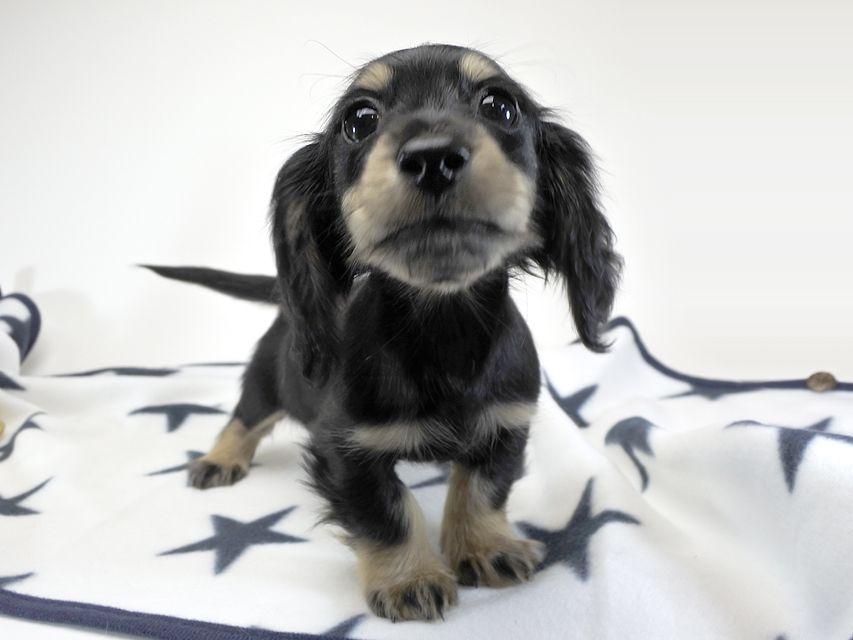 カニンヘンダックスフンド ゴマ.mh & バロン.mhの子犬 ブラッククリーム 女の子 お写真初登場