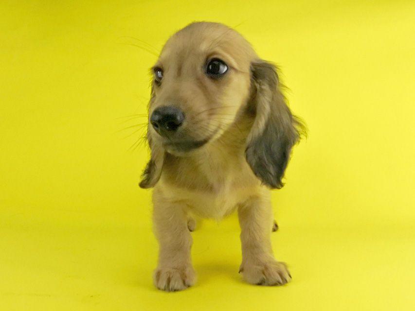 カニンヘンダックス シエラ & たけるの子犬 レディッシュイエロー 女の子
