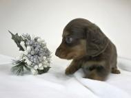 コラム & アレックスの子犬 チョコタン 男の子