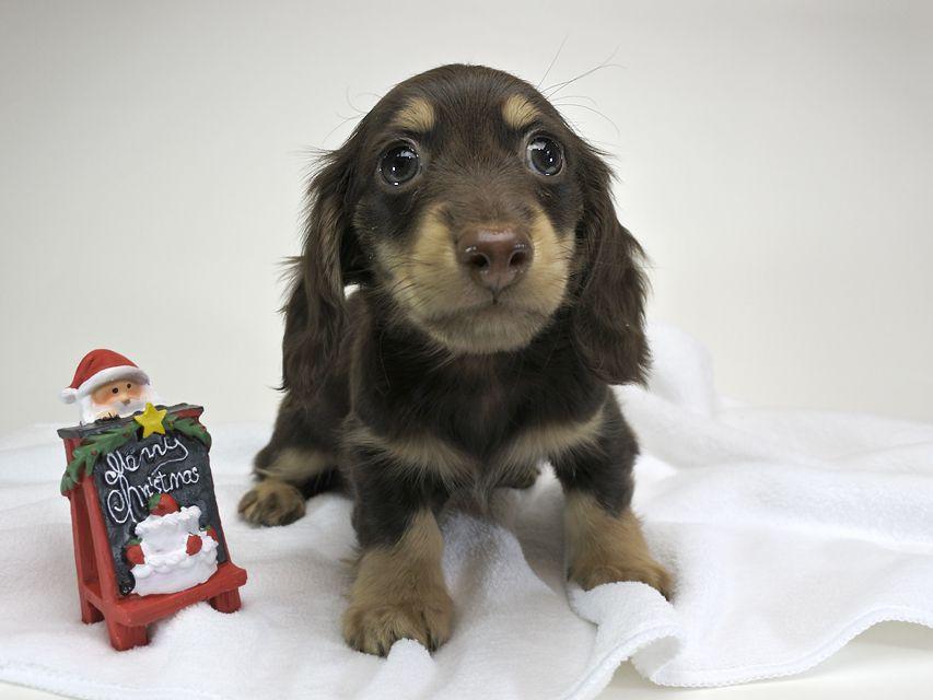 カニンヘンダックスフンド チョコ.mh & バロン.mhの子犬 チョコクリーム 男の子 お写真初登場