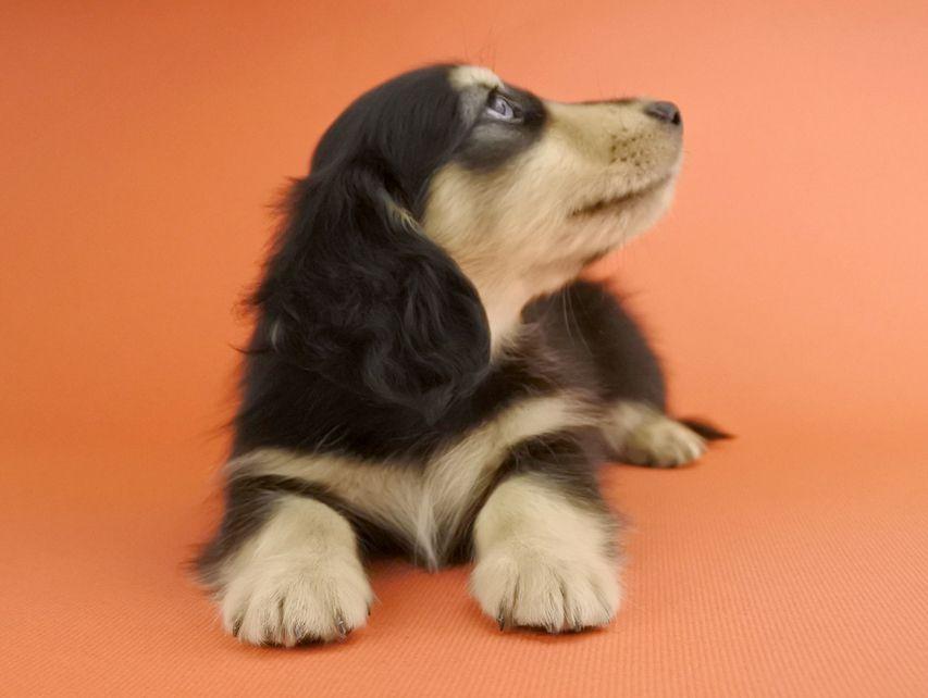 カニンヘンダックス オーシャン & ナイトの子犬 ブラックイエロー 男の子