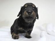 アン.hb & セナ.moの子犬 ブラックタン 女の子 お写真初登場
