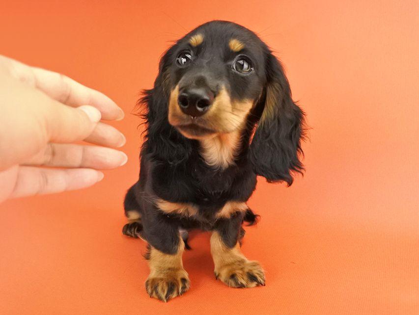 カニンヘンダックス ルース & バロンの子犬 ブラックタン 男の子