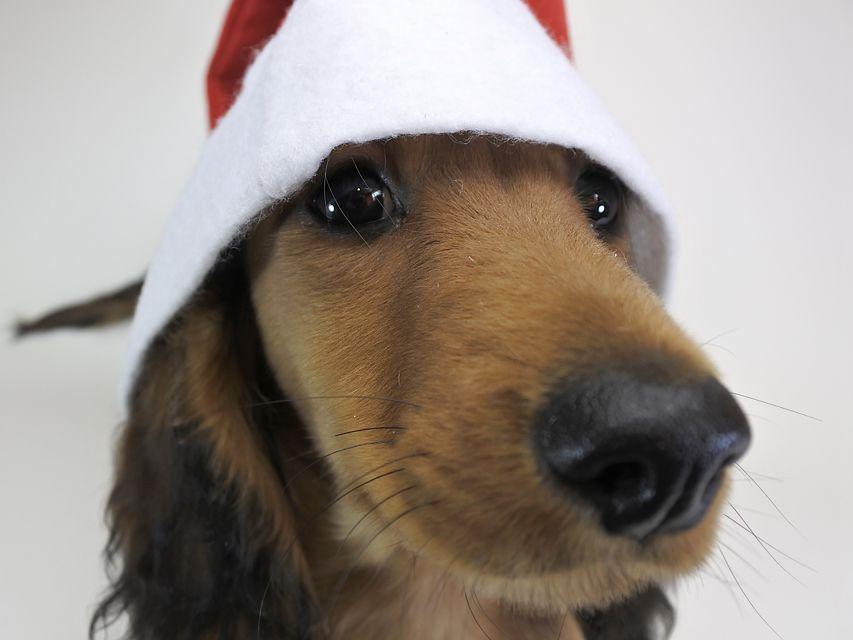 ミニチュアダックスフンド サリーアン & フレディの子犬 レッド 男の子(2) お写真初登場