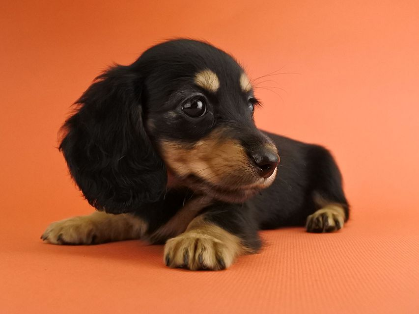 カニンヘンダックス スワン & ジムダンディの子犬 ブラックタン 女の子