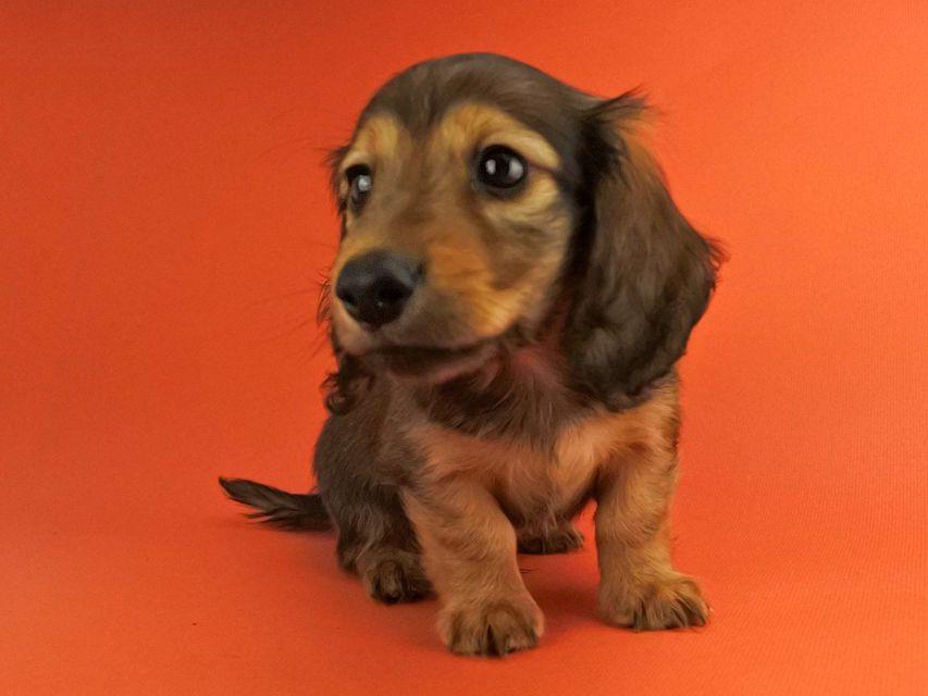 カニンヘンダックス オーロラ & たけるの子犬 レッド 男の子(2)