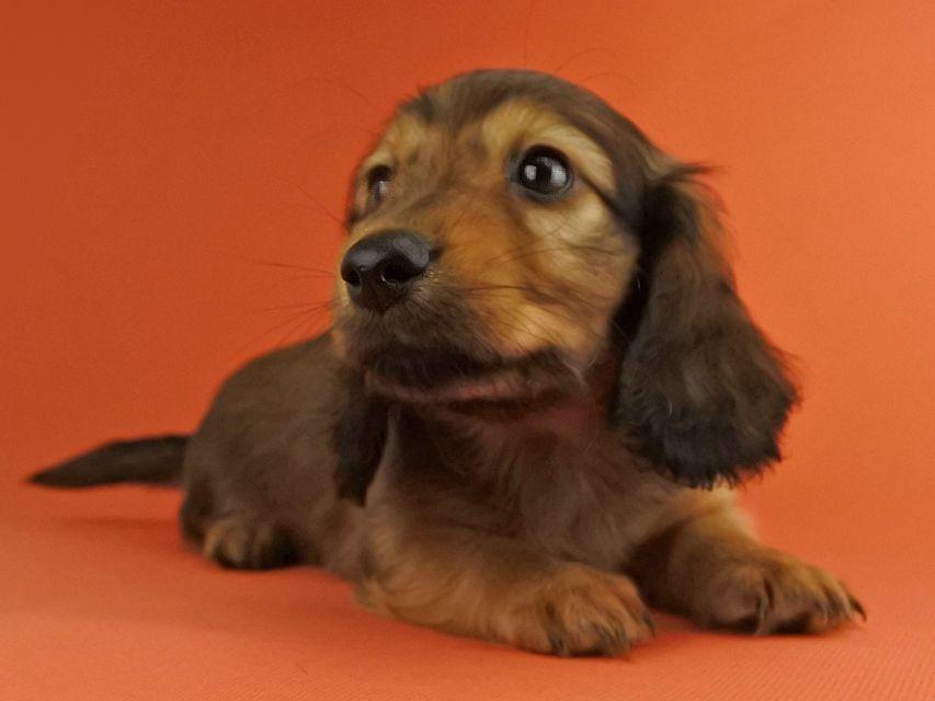 カニンヘンダックス オーロラ & たけるの子犬 レッド 男の子(1)