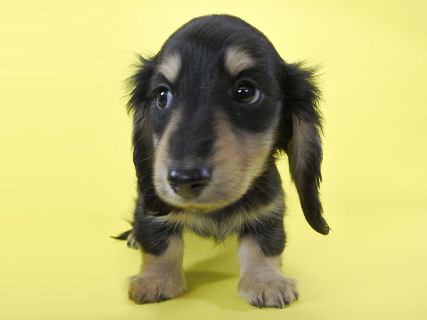 ダックスフンド わかば & アレックスの子犬 ブラッククリーム 男の子