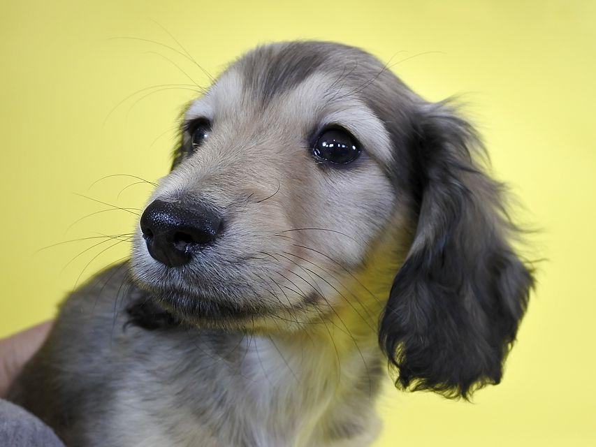 ダックスフンド わかば & アレックスの子犬 シェーデットクリーム 男の子