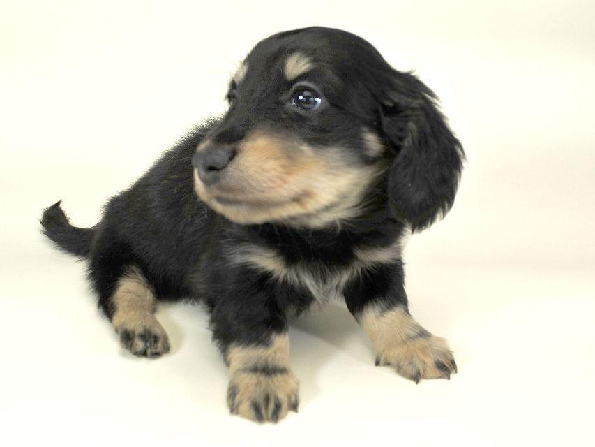 ダックスフンド かえで & オスカルの子犬 ブラッククリーム 男の子 お写真初登場