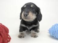 かえで & オスカルの子犬 ブラッククリーム 男の子 お写真初登場