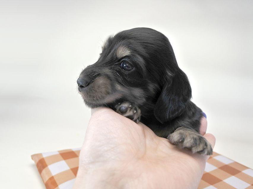 ダックスフンド ひな.2 & ジムの子犬 ブラックタン 男の子 お写真初登場