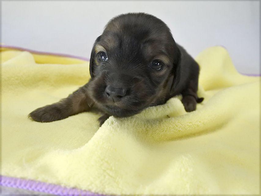 カニンヘンダックス いちご & ジムの子犬 レッド 男の子 お写真初登場