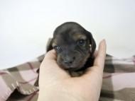 いちご & ジムの子犬 レッド 女の子(1) お写真初登場