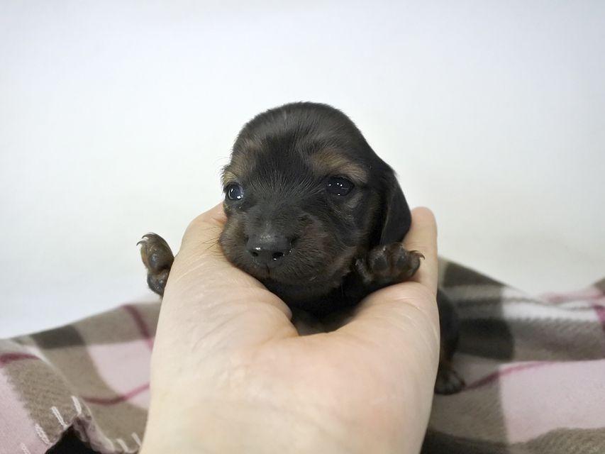 カニンヘンダックス いちご & ジムの子犬 レッド 女の子(1) お写真初登場