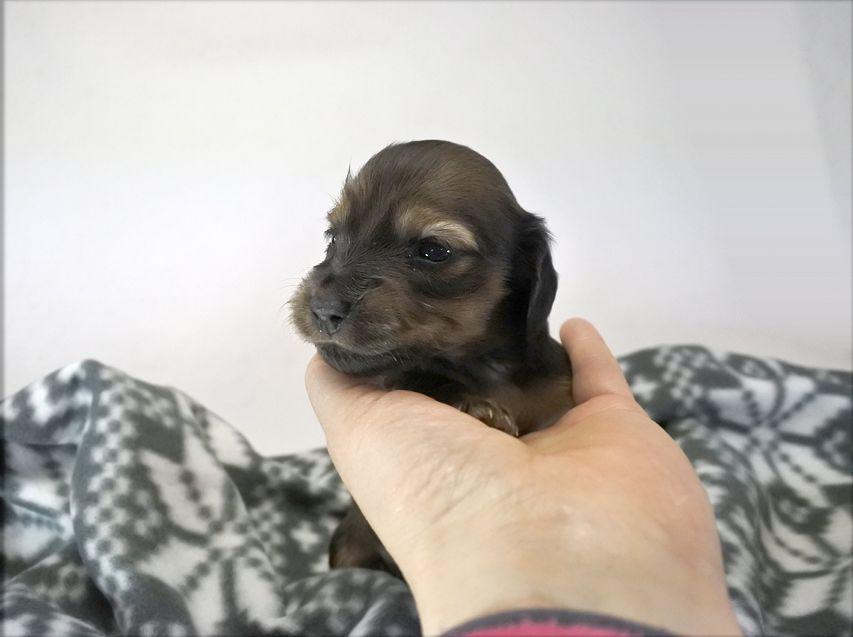 カニンヘンダックス いちご & ジムの子犬 レッド 女の子(2) お写真初登場