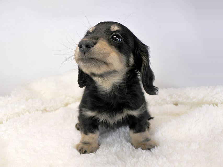 カニンヘンダックス かえで & オスカルの子犬 ブラッククリーム 男の子