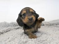 ダックスフンド ひな.2 & ジムの子犬 レッド 男の子 お写真初登場