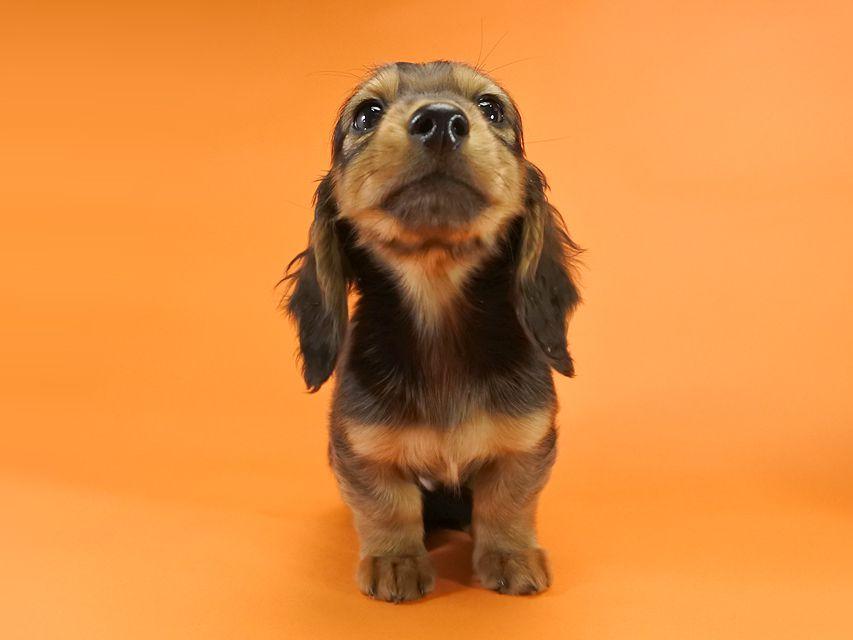 カニンヘンダックス ひな.2 & ジムの子犬 レッド 男の子