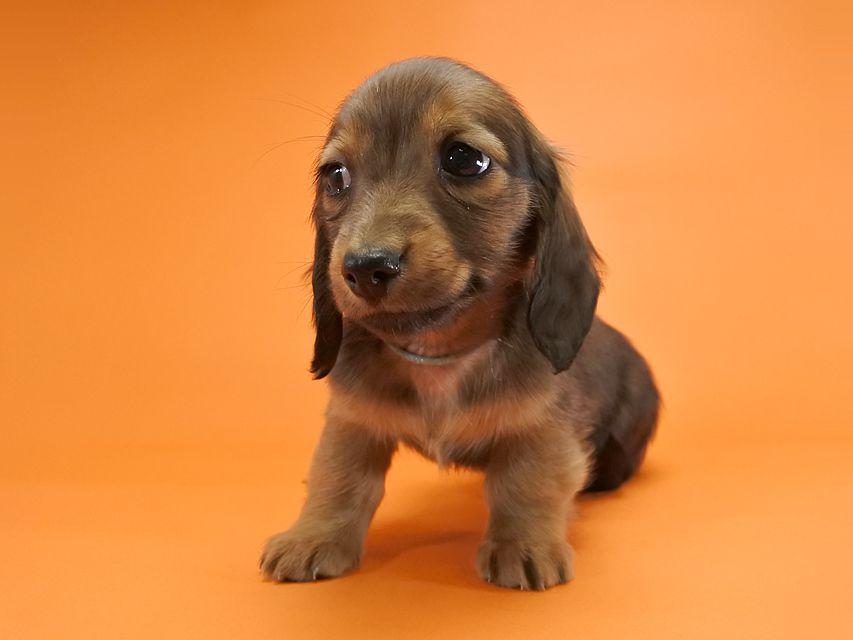 カニンヘンダックス いちご & ジムの子犬 レッド 男の子