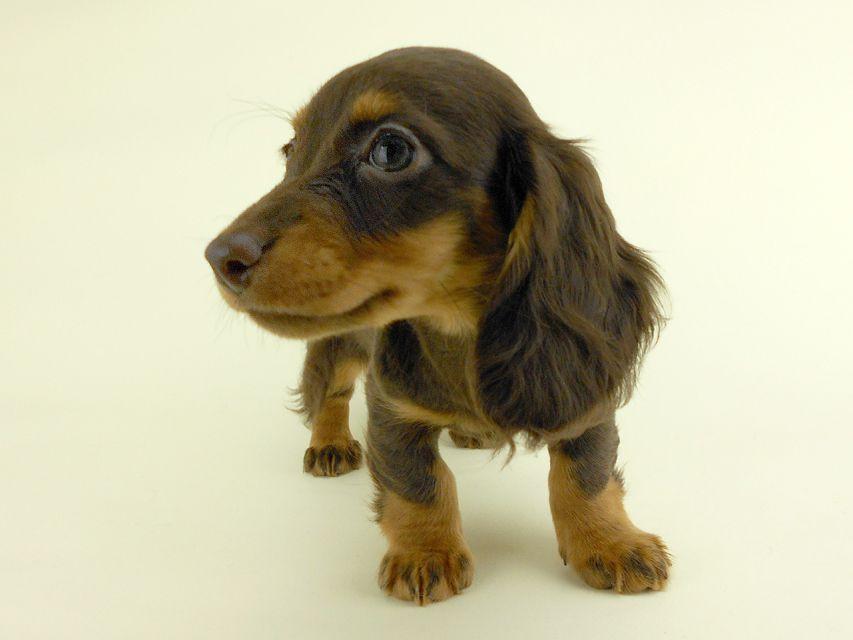 カニンヘンダックス ルース & バロンの子犬 チョコタン 女の子 お写真初登場