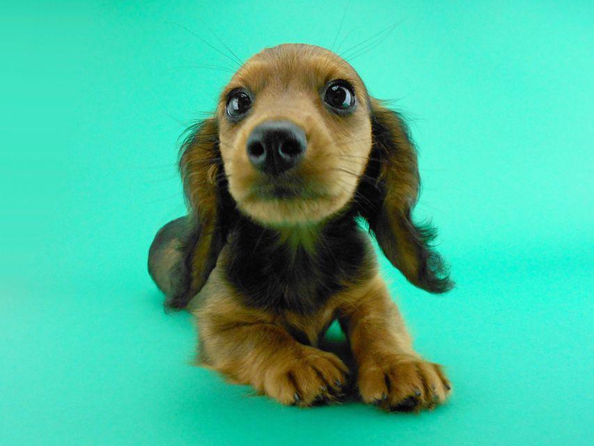 カニンヘンダックス キャンディcs & たけるの子犬 レッド 女の子