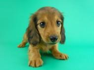 シエラ & たけるの子犬 レッド 女の子(2)