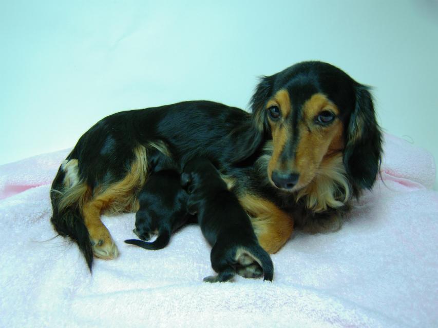 カニンヘンのマロが12月30日出産しました。 ブラック&クリーム 男の子1 女の子1です