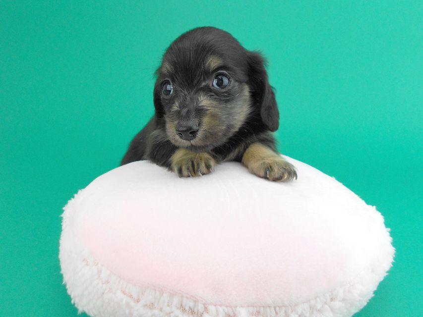 カニンヘンダックス オーシャン & ナイトの子犬 ブラックイエロー 女の子