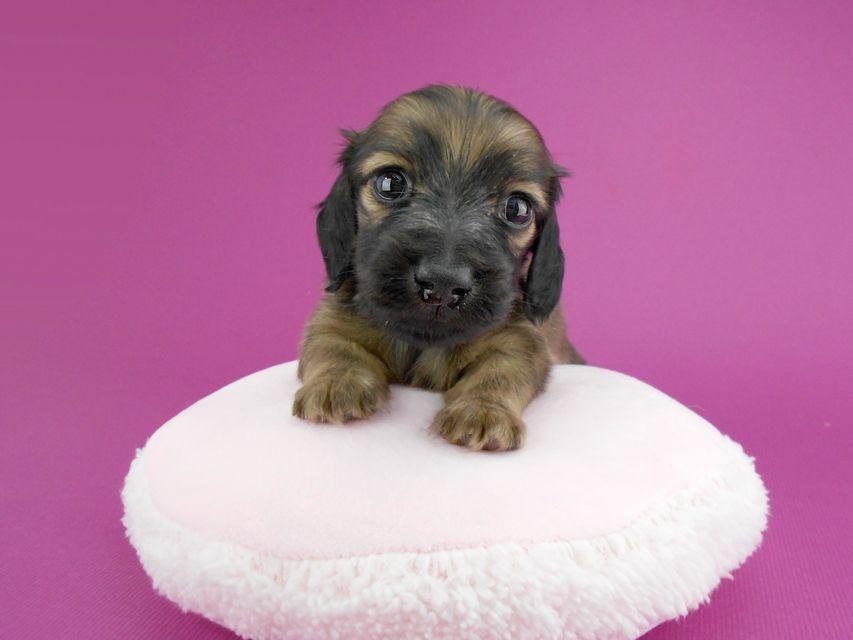 カニンヘンダックス リン2 & ジムダンディの子犬 イエロー(クリーム) 女の子 お写真初登場