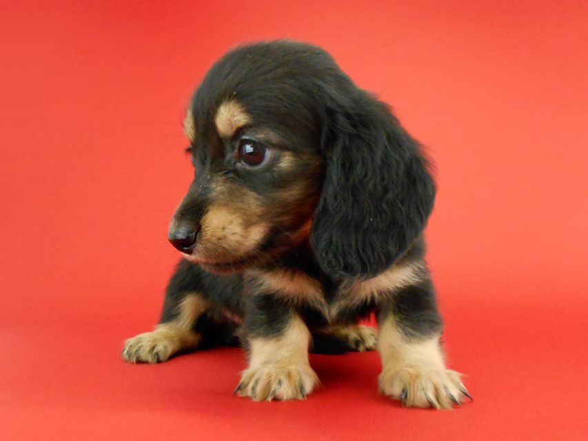 カニンヘンダックス スワン & ジムダンディの子犬 ブラックイエロー(ブラッククリーム) 男の子