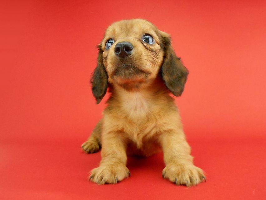 カニンヘンダックス スワン & ジムダンディの子犬 レッド 男の子