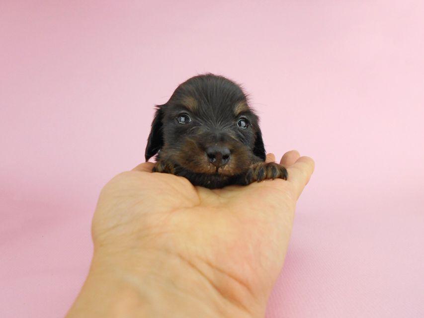 カニンヘンダックス パセリ & ナイトの子犬 ブラックイエロー(ブラッククリーム) 男の子 お写真初登場