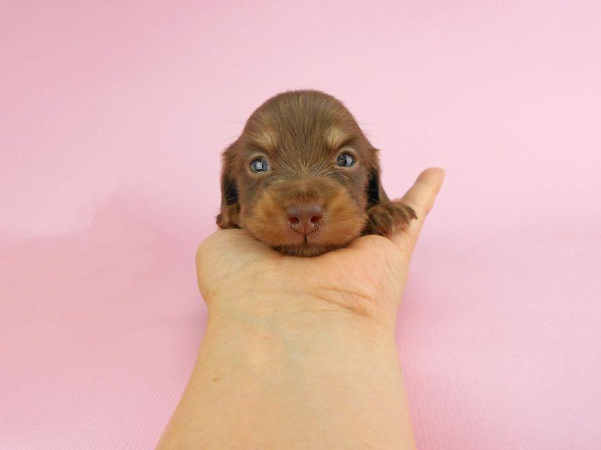 カニンヘンダックス パセリ & ナイトの子犬 チョコイエロー(チョコクリーム) 男の子 お写真初登場