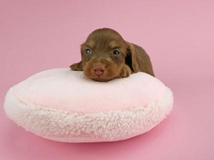 ダックスフンド パセリ & ナイトの子犬 チョコイエロー(チョコクリーム) 女の子