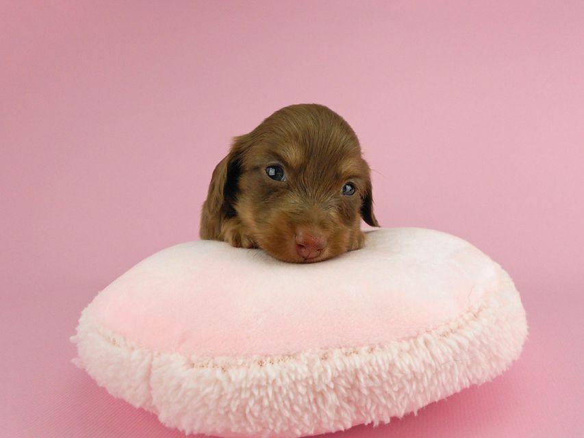 カニンヘンダックス パセリ & ナイトの子犬 チョコイエロー(チョコクリーム) 女の子 お写真初登場