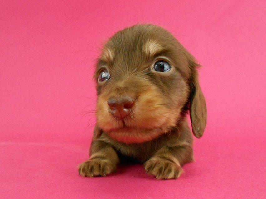 カニンヘンダックス パセリ & ナイトの子犬 チョコイエロー(チョコクリーム) 男の子