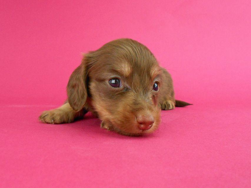 カニンヘンダックス パセリ & ナイトの子犬 チョコイエロー(チョコクリーム) 女の子