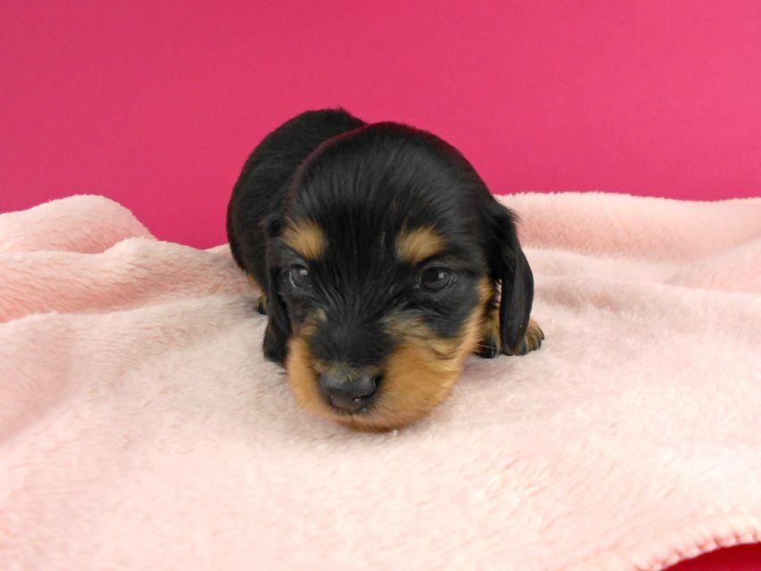 カニンヘンダックス トマト & クッキーの子犬 ブラックイエロー(ブラッククリーム) 女の子 お写真初登場