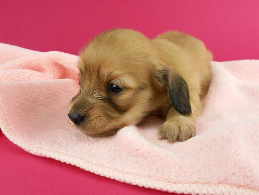 カニンヘンダックス トマト & クッキーの子犬 イエロー(クリーム) 女の子 お写真初登場