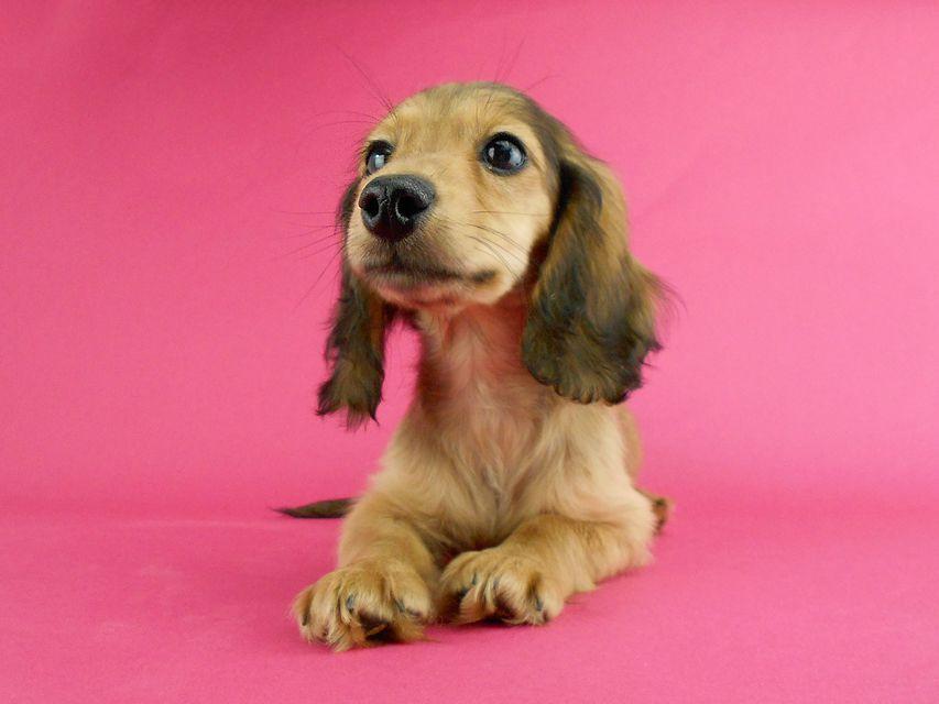 カニンヘンダックス スター & ボンの子犬 イエロー(クリーム) 女の子(3)