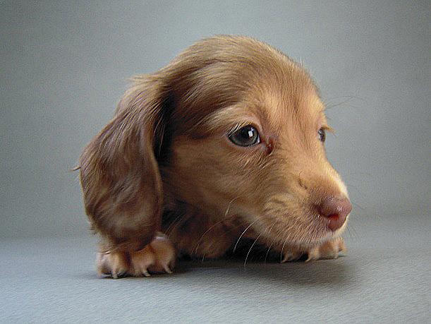 ベルの子犬 クリーム女の子